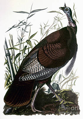 Photograph - Audubon: Turkey by Granger