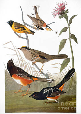 Photograph - Audubon: Various Birds by Granger