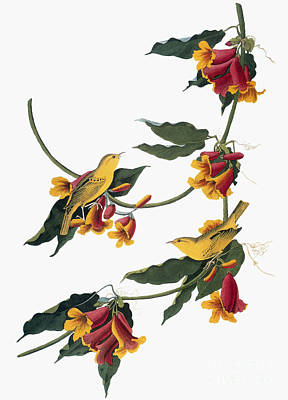 Photograph - Audubon: Vireo, 1827-38 by Granger