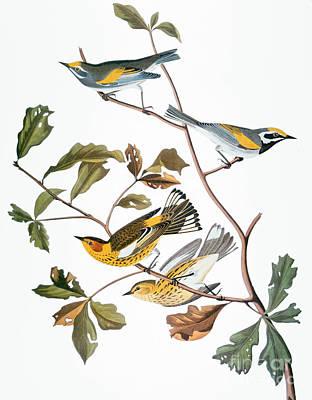Photograph - Audubon: Warbler, (1827-1838) by Granger