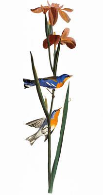 Photograph - Audubon: Warbler, 1827 by Granger