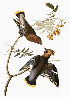 Photograph - Audubon: Waxwing by Granger