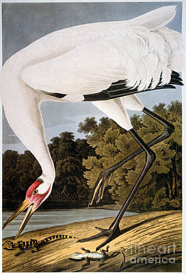 Photograph - Audubon: Whooping Crane by Granger