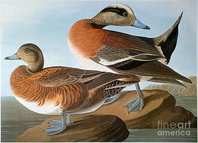Photograph - Audubon: Wigeon, 1827-38 by Granger