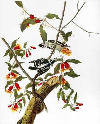 Artflakes Photograph - Audubon: Woodpecker, 1827 by Granger