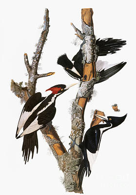 Photograph - Audubon: Woodpecker by Granger