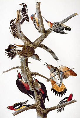 Photograph - Audubon: Woodpeckers by Granger