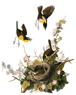 Photograph - Audubon: Yellow Chat, (1827-38) by Granger