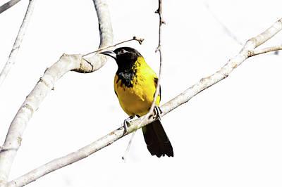 Photograph - Audubon's Oriole by Debra Martz
