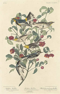 Painting - Audubon's Warbler by John James Audubon