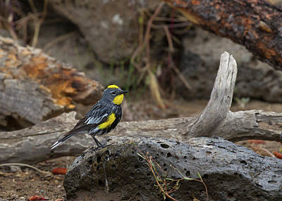 Photograph - Audubons Yellowrumped Warbler by Doug Lloyd