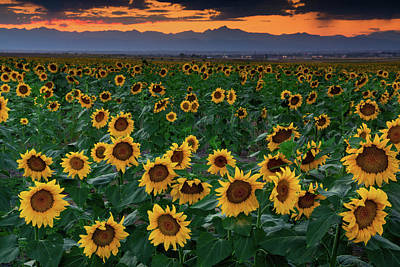 Photograph - August Sunflowers In Colorado by John De Bord