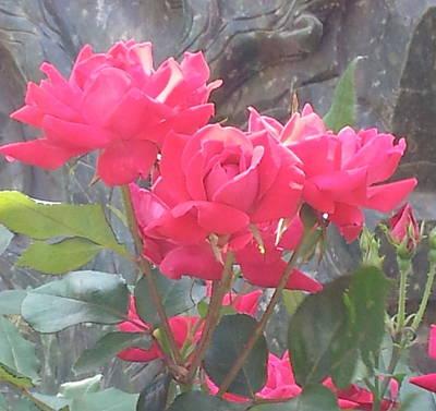 Photograph - Austin Roses by Karen J Shine