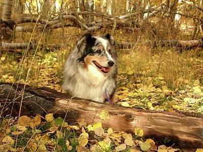 Photograph - Austrailian Shepherd In Autumn Leaves by Deborah Moen
