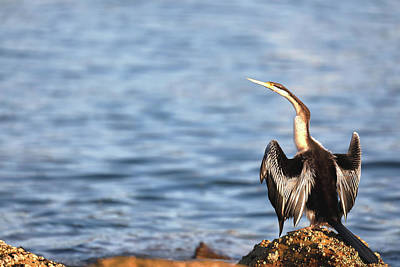 Photograph - Australasian Darter by Nicholas Blackwell