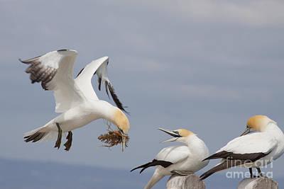 Photograph - Australasian Gannet With Nesting Material by Karen Van Der Zijden