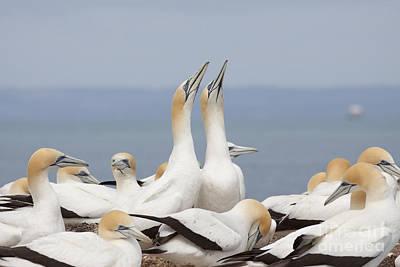 Photograph - Australasian Gannets Courting by Karen Van Der Zijden