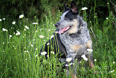 Photograph - Australian Blue Heeler by Elizabeth Winter