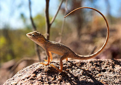 Reptiles Royalty-Free and Rights-Managed Images - Australian Dragon by Bill  Robinson
