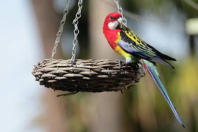 Digital Art - Australian Eastern Rosella 01 by Kevin Chippindall