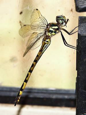 Photograph - Australian Emperor Dragonfly by Miroslava Jurcik