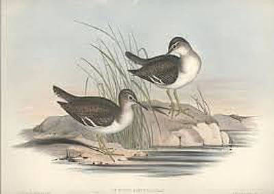 Sandpiper Drawing - Australian Fairy Sandpiper by John Gould