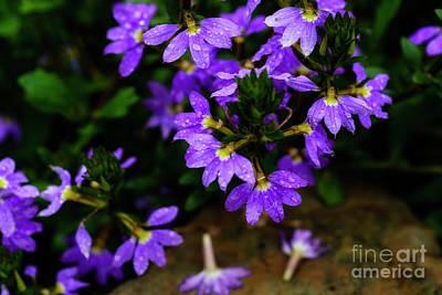 Photograph - Australian Fan Flower  by Thomas R Fletcher