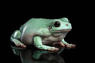 Reptiles Photograph - Australian Green Tree Frog, Or Litoria Caerulea Isolated Black Background by Sergey Taran