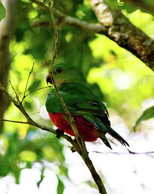 Photograph - Australian King Parrot  by Miroslava Jurcik