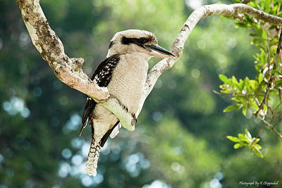 Digital Art - Australian Kookaburra 0661 by Kevin Chippindall