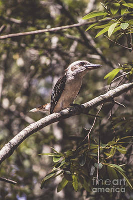 Gumtree Photograph - Australian Kookaburra by Jorgo Photography - Wall Art Gallery