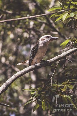 Deception Photograph - Australian Kookaburra by Jorgo Photography - Wall Art Gallery