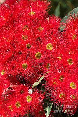 Photograph - Australian Native Eucalyptus Flowers by Joy Watson