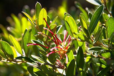Photograph - Australian Native Red Spider Flower by Miroslava Jurcik