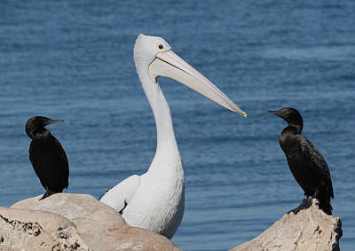 Photograph - Australian Pelican And Cormorants by Tony Brown