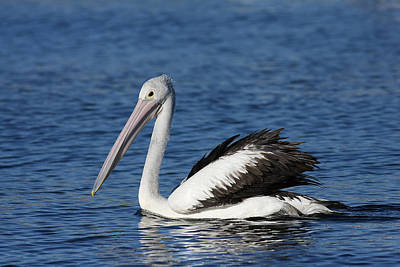 Photograph - Australian Pelican B by Tony Brown