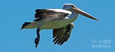 Australian Pelican In Flight Art Print by Blair Stuart