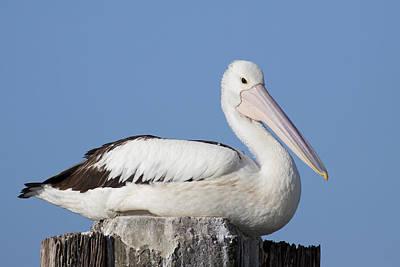 Photograph - Australian Pelican by Karen Van Der Zijden