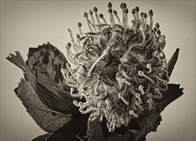 Australian Pincushion 2 Art Print by Robert Ullmann