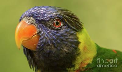 Photograph - Australian Rainbow Lorikeet by Steven Parker
