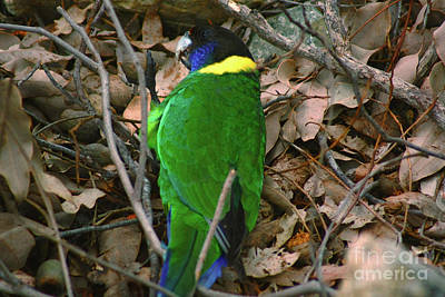 Photograph - Australian Ringneck by Cassandra Buckley