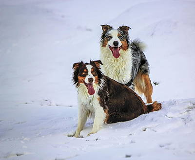 Photograph - Australian Shepherd Dogs On The Snow by Elenarts - Elena Duvernay photo