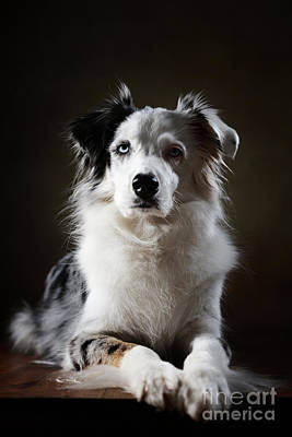 Herding Dog Photograph - Australian Shepherd by Jana Behr