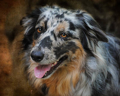Herding Dog Photograph - Australian Shepherd Portrait by Jai Johnson