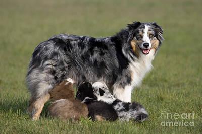Bitch Photograph - Australian Shepherd With Pups by Jean-Louis Klein & Marie-Luce Hubert