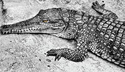 Photograph - Australian Shy Crocodile  by Miroslava Jurcik