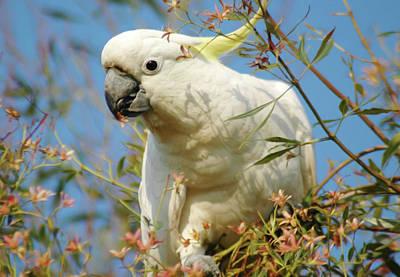 Australian Mixed Media - Australian Sulphur Crested Cockatoo by Georgiana Romanovna