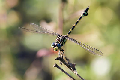 Tiger Dragonflies Photograph - Australian Tiger Dragonfly by Teale Britstra