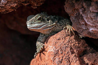 Photograph - Australian Water Dragon by Arterra Picture Library