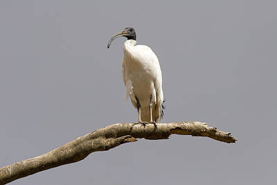 Ibis Photograph - Australian White Ibis Perched by Mike  Dawson